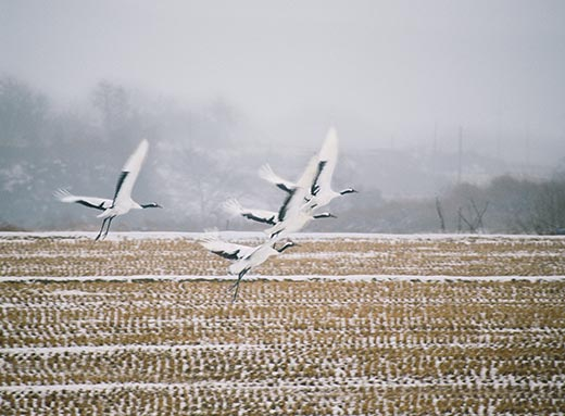 Red-crowned cranes over the DMZ (photo credit Michael S. Yamashita)
